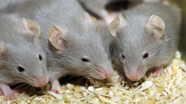 شركة مكافحة الفئران ام القيوين